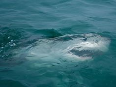 great white just below the water