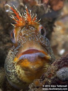 'Tommie' blenny fish / Photo of the day by AlexTattersall, via Flickr