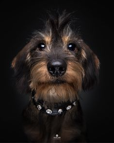 Longhaired Dachshund...such a cutie.