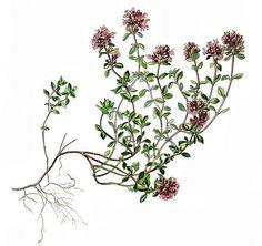 Kryptimian (Thymus serpyllum) Thymus Serpyllum, Feuille Eucalyptus, Botanical Art, Air, Perennials, Body Art, Herbs, Drawings, Garden