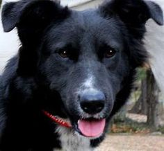 LUMBERJACK(SO SMART!!! TWO GREAT BREEDS--ONE 'GREAT' FELLOW!!) is an adoptable Flat-Coated Retriever Dog in Newington, CT. LUMBERJACK is a beautiful, 2 yr old, approx 65 lb., FLAT-COATED RETRIEVER/COL...