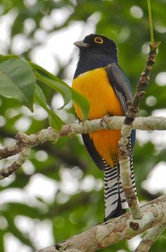 Foto surucuá-violáceo (Trogon violaceus) por Margi Moss | Wiki Aves - A Enciclopédia das Aves do Brasil