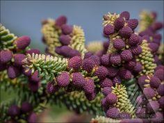 Abies pinsapo 'Aurea' - Springtime stunning pollen cones.