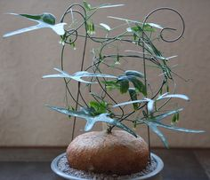 Adenia kirkii a climbing caudiciform succulent from the passion flower family The sap is poisonous so handle with care Image Gillian Evison Weird Plants, Unusual Plants, Rare Plants, Exotic Plants, Cool Plants, Exotic Flowers, Strange Flowers, Cacti And Succulents, Planting Succulents