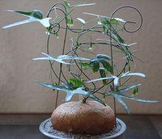 Este membro da família Passifloraceae foi dado este nome por Heinrich Gustav Adolf Engler em 1891. Encontra-se em Costal Quénia, Tanzânia Oriental e Zanzibar, crescendo solo bem drenado com um pouco de água e tranquilo algum sol. As flores são verde, e ao lado sementes, pode ser reproduzida por estacas, o que pode não formam o caudex. Que irá aumentar a três metros de um caudex 30 centímetros.