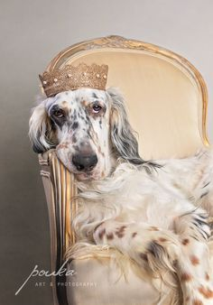 A handsome English Setter wearing a crown shows his enthusiasm for being photographed! Photography by Pouka Fine Art Pet Portraits. Beautiful Dogs, Animals Beautiful, Cute Animals, I Love Dogs, Cute Dogs, Labrador, Dog Modeling, Irish Setter, Dog Portraits