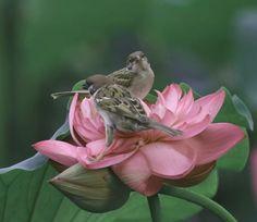 Birds on lotus
