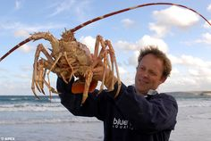 Curator Matt Slater, from the Blue Reef Aquarium, Newquay, holds Poseidon the giant lobster.