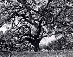 Google Image Result for http://ucscplant.ucsc.edu/ucscplant/Grounds/images/bw_oak_tree.gif