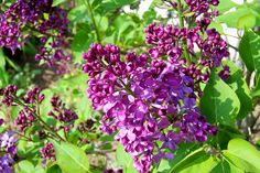 Deep purple lilac from my previous home I wish I had brought with me to my new home!
