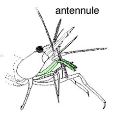 drawing of shrimp Pandalus danae cleaning its antennule with the paired 3rd maxillipeds