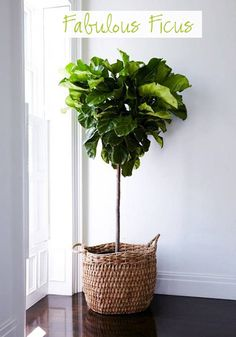 The Fabulous Fiddle Back Leaf