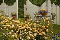 Flower Carpet Amber blooms for weeks on end. The original eco-rose, Flower Carpet needs no fancy pruning or chemicals to perform beautifully!