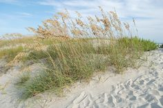 Sea Oats on the dunes in Emerald Isle, NC