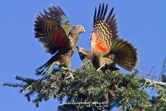 Kea alpine parrot, West Coast, New Zealand