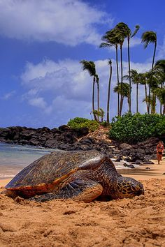 Sea Turtle resting on shore;  North Shore on Oahu, Hawaii actually a turtle sanctuary.  There are turtle minders to keep people from disturbing the turtles on shore.