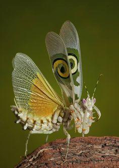 A Spiny Flower Mantis