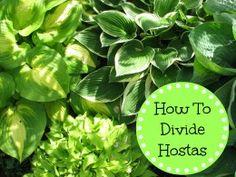 How to divide Hosta plants