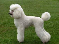 St Poodle in a Modern trim - awesome dogs, agile, smart, highly trainable, good with kids, but still good guard dogs!