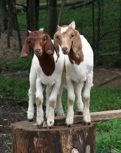 Have you ever spent any time watching goats? They make me laugh!  They make my day!  They are so adorably ugly all at once!