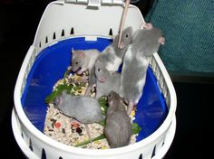 Pet Rats, Pets, Plastic Laundry Basket, Bunny, Animals, Cute Bunny, Animales, Animaux, Animal