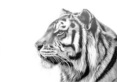 tiger drawing easy - Google Search