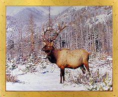 Your love for animals can now be seen on the walls of your house with this lovely bull elk big antler rocky mountain wildlife framed art poster. This framed art will be a classy addition in your room decor. This wonderful framed poster will add a charming character into your home and it is perfect for someone who loves wild animals and inspired by the nature's beauty. Its wooden golden frame accentuates the poster mild tone.