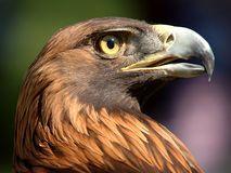 Golden Eagle Royalty Free Stock Photo