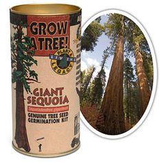 Grow Your Own Giant Sequoia