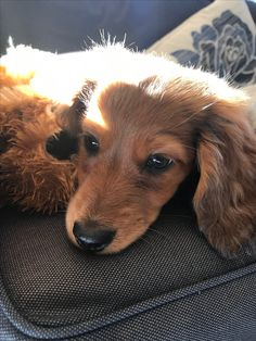 In the sun Long Haired Dachshund, Mini Dachshund, Dachshund Puppies, Weiner Dogs, Dachshunds, Animals And Pets, Cute Animals, Dog Pictures, Dog Training