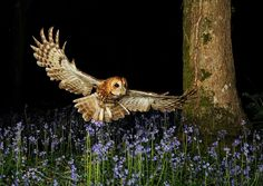 Tawny Owl ; stunning photo https://www.facebook.com/kevin.keatley.98?fref=nf