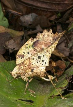 The most awesome leaf-mimicking katydid that I have seen! Look at the colors and the details. Weird Insects, Cool Insects, Bugs And Insects, Reptiles, Beautiful Bugs, Amazing Nature, Cool Bugs, A Bug's Life, Weird Creatures