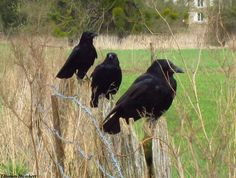 Three crows- the crow is also my spirit animal and I love how similar the crow and raven are
