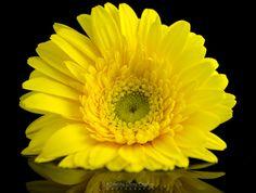 Yellow Gerbera reflection