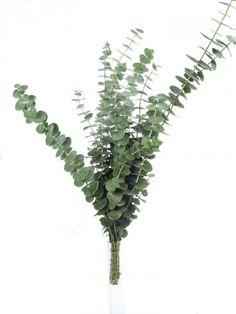 Eukalyptus der Sorte 'Baby Blue'. Eukalyptuszweige machen sich hervoragend zusammen mit anderen Schnittblumen oder solo in der Vase. Ganzjährig Saison im Januar, Februar, März, April, Mai, Juni, Juli, August, September, Oktober, November und Dezember. Jetzt mehr entdecken auf Blumigo.de! #blumen #grün #beiwerk #bindegrün #hochzeitsblumen #hochzeit #hochzeitsdeko #weddingflowers #eukaylptuszweige