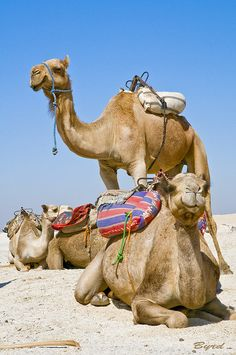 Camels of the Sahara by Byrd on a Wire, via Flickr