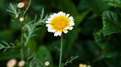 Inflorescencia en capítulo de la margarita 'Chrysanthemum coronarium'