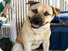Mesa, AZ - German Shepherd Dog Mix. Meet TEDDY a Dog for Adoption.