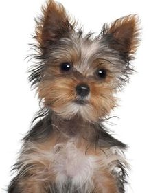 Is that food you have there? How come I don't have it? #yorkie #itsaYORKIElife