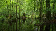 """El último gran bosque virgen de Europa está """"al borde del colapso"""""""