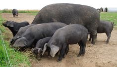 As a hog farmer (who appreciates heritage breeds and pigs who forage), I am concerned about this Michigan ruling. Here are some of the pigs we raised last summer. They are part-hertitage breed. Large Black Pig, Black Pigs, Big Black, Marbled Meat, Bacon Pig, Pig Breeds, Pig Character, Pig Crafts, Teacup Pigs