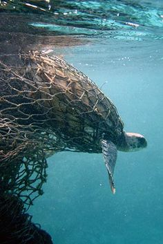 Plastic pollution - Image says a thousands words - a Sea turtle entangled in a g. - Plastic pollution – Image says a thousands words – a Sea turtle entangled in a ghost net. Ocean Pollution, Plastic Pollution, Ocean Garbage Patch, World Animal Protection, Save Our Earth, Save Our Oceans, Environmental Issues, Animals Of The World, Environmental Science