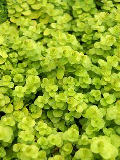 "Creeping Jenny, Golden Moneywort. (Lysimachia nummularia Aurea) Excellent, fast spreading groundcover forms a leafy mat only 3"" tall. Foliage will be bright yellow in full sun. Penny-sized gold leaves freely root at the nodes. Profuse buttercup yellow flowers in summer. Provides a perfect blanket of color beneath Hydrangea, Hostas and Ferns. 3"" Height."