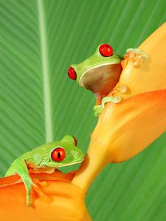~~Two Red-eyed Tree Frogs on a heliconia flower by Frank Scott Photography~~