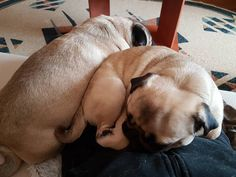 When we have to share our human 😴😂🤣  #mauricethepug #bubble #queenb #bubblethepug #share #human #sleepy #naptime #romania #tirgumures #pugchat #puglife #pugstory #pug #mops #dog #puppy