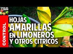 Como cuidar un limonero de las 4 estaciones - Cosas del Jardin Backyard, Patio, Planters, Tips, Youtube, Gardening, Ideas, Gardens, Zoology