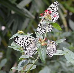 A trio of Paper Kites are nectaring on red Pentas