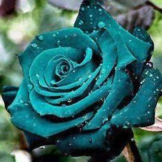 Rainbow Rose Seeds – Jala & Noor Garden Bulbs, Bonsai Garden, Garden Pots, Garden Ideas, Fruit Garden, Rare Roses, Rare Flowers, Beautiful Flowers, Beautiful Pictures