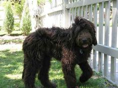 Newfypoo (Newfoundland-Poodle Mix) Info, Puppies, and Pictures