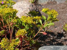 Siperianmaksaruoho, Sedum aizoon - Kukkakasvit - LuontoPortti